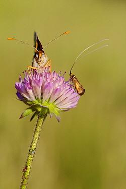 Knapweed fritillary butterfly (Melitaea phoebe) or (Cinclidia phoebe) and Brassy longhorn moth (Nemophora metallica), Var, France, May.