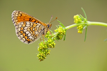 Meadow fritillary butterfly (Melitaea parthenoides), Baronnies Provincial Regional Natural Park, France, May.