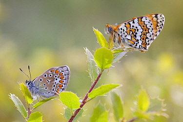 Common blue butterfly (Polyommatus icarus) and Glanville fritillary butterfly (Melitaea cinxia), Var, France, May.