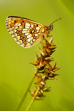Meadow fritillary (Melitaea parthenoides), Grands Causses Regional Natural Park, France, June.