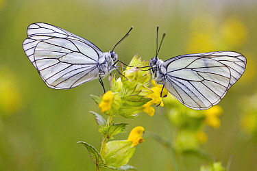 Two Black veined white butterflies (Aporia crataegi) just after emerging, Herault, France, May.