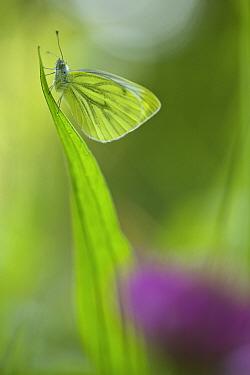 Wood White butterfly (Leptidea sinapis), Essonne, France, June.