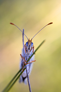 Glanville fritillary butterfly (Melitaea cinxia), portrait, Grands Causses Regional Natural Park, France, May.