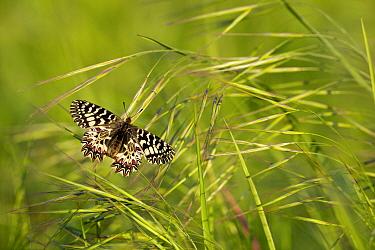 Southern festoon butterfly (Zerynthia polyxena) in grass, Var, France, April.