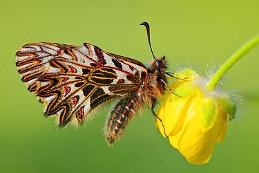 Southern festoon butterfly (Zerynthia polyxena) on flower, Var, France, April.