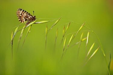 Southern festoon butterfly (Zerynthia polyxena) on grass, Var, France, April.