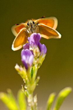 Small skipper butterfly (Thymelicus sylvestris) feeding on flowers, Hautes-Alpes, France, July.