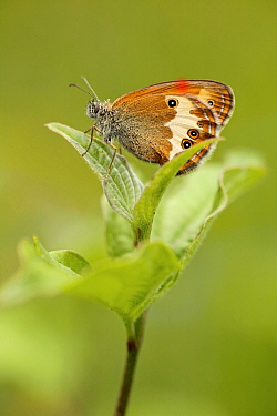 Pearly heath butterfly (Coenonympha arcania), Vaucluse, France, June.