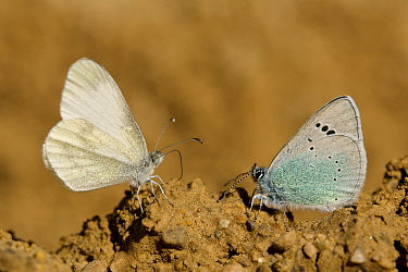 Green-underside blue butterfly (Glaucopsyche alexis) and Wood white butterfly (Leptidea sinapis) puddling, Grands Causses Regional Natural Park, France, May.