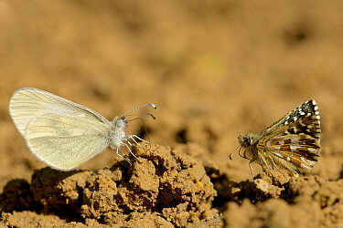 Oberthur's grizzled skipper (Pygrus armoricanus) and Wood white butterfly (Leptidea sinapis) puddling, Grands Causses Regional Natural Park, France, May.