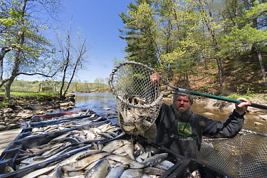 Man catching Alewives (Alosa pseudoharengus) with a hoop net during the Annual Spring Harvest, Dresden, Maine, USA. May. Model released.