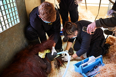 Veterinarian administratiing a sedative injection to a female Orangutan (Pongo pygmaeus) for a check with an MRI scanner, Zooparc Beauval, France, October 2017.