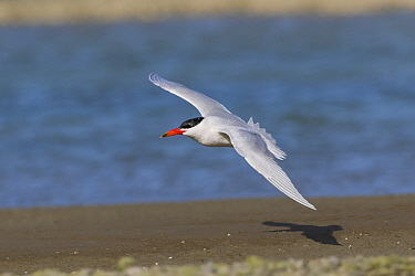 Caspian Tern (Sterna caspia) in flight. Ashley River, Canterbury, New Zealand. August.