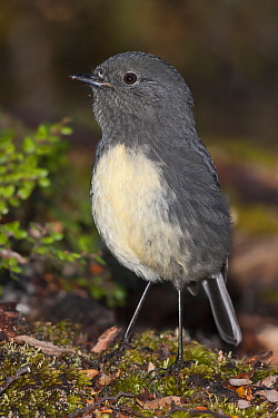 South Island robin (Petroica australis australis) perched on forest floor. Lewis Pass, South Island, New Zealand.