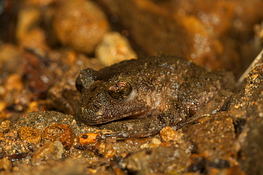 Hochstetter's Frog (Leiopelma hochstetteri). Northland, New Zealand. Endangered species.