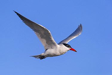Caspian Tern (Sterna caspia) in flight.  Lake Forsyth, Banks Peninsula, Canterbury, New Zealand. August.