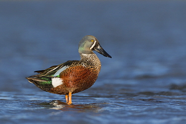 Male Australasian shoveler (Anas rhynchotis) perched on rock in shallow water.  Ashley River, Canterbury, New Zealand. July.