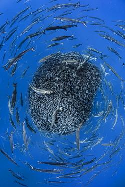 European barracuda (Sphyraena sphyraena) and Bluefish (Pomatomus saltatrix) circling baitball of Atlantic horse mackerel (Trachurus trachurus) Formigas Islets, Azores. Finalist in the Underwater Categ...