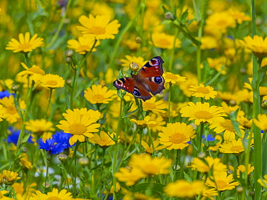 Peacock butterflies (Inachis io) feeding on corn marigolds (Glebionis segetum) on agricultural headland. England, UK.