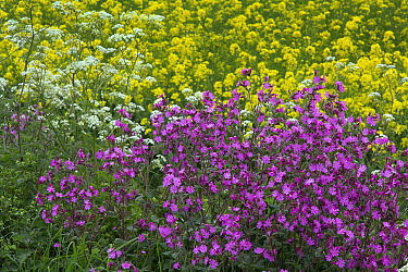 Red campion (Silene dioica) and Cow parsely (Anthriscus sylvestris) growing at edge of  Oilseed rape (Brassica napus) crop  field. England, UK.
