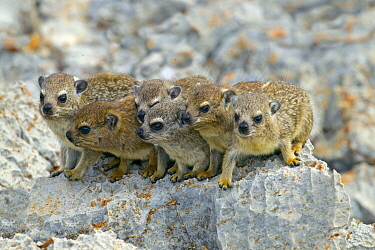 Rock hyrax (Procavia capensis) family on rock, Namibia.
