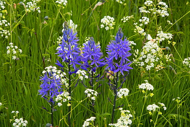 Camas lily (Camassia) flower in garden. England, UK.