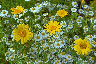 Corn marigold (Chrysanthemum segetum) and  Feverfew. (Chrysanthemum parthenium) England, UK.
