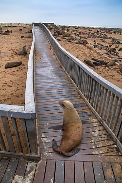 Brown fur seal (Arctocephalus pusillus) hauled out on board walk in Cape Cross seal colony, Namibia