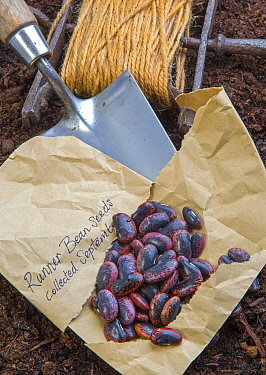 Runner bean (Phaseolus coccineus) seeds ready for planting. England, UK.