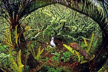 Atlantic yellow-nosed albatross (Thalassarche chlororhynchos). nesting amid Blechnum palmiforme tree ferns.  Gough Island, Gough and Inaccessible Islands UNESCO World Heritage Site, South Atlantic.