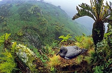 Sooty albatross (Phoebetria fusca) nesting amongst Blechnum palmiforme tree ferns. Gough Island, Gough and Inaccessible Islands UNESCO World Heritage Site, South Atlantic.