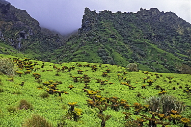 Coastal plateau with water fern (Histiopteris incisa) and Bog fern (Blechnum palmiforme) and Island Tree (Phylica arborea,)  Gough Island, Gough and Inaccessible Islands UNESCO World Heritage Site, So...
