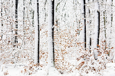 Beech trees (Fagus sp) after a heavy snowstorm, Rozendaalse bos, the Netherlands, November