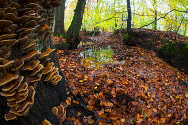 Autumn trees with Bracket fungi, Leuvenumse bos, the Netherlands, November