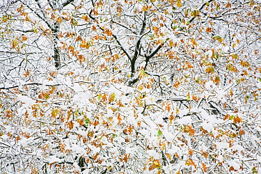 Oak tree (Quercus sp) with snow in autumn, Rozendaalse Bos, near Arnhem, the Netherlands, November