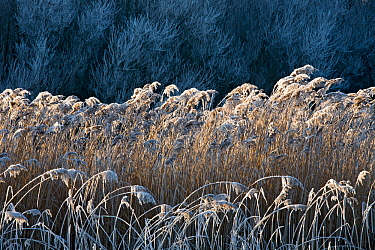 Reed and Willows (Salix sp) with hoarfrost, Weerribben-Wieden National Park, the Netherlands, December 2007