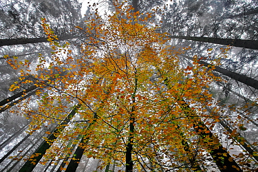 Young Beech trees (Fagus sp) with autumn leaves  in a coniferous forest, near La Hoegne, Belgian Ardennes, November