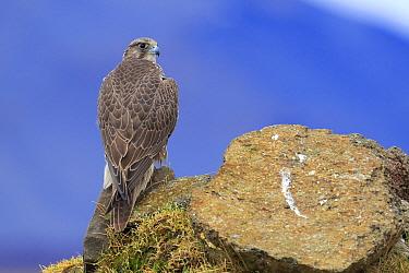 Gyrfalcon (Falco rusticolus), Iceland. February.