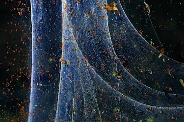 Red spider mite (Tetranychus urticae),   Andalusia, Spain, June.