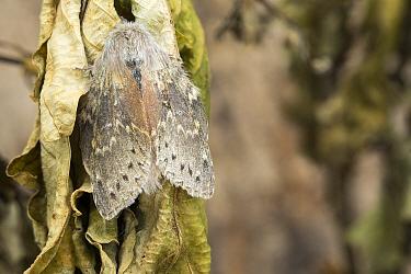 Lobster moth (Stauropus fagi)  Catbrook, Monmouthshire, Wales, UK,  June.  Focus-stacked image.