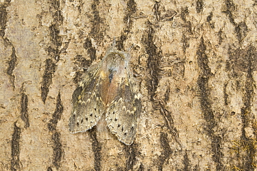 Lobster moth (Stauropus fagi)  Catbrook, Monmouthshire, Wales, UK. June. Focus-stacked image.