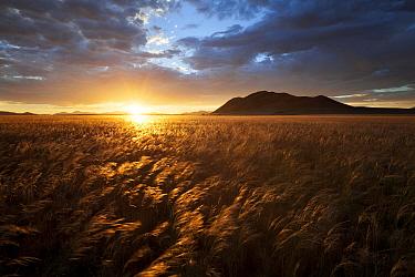 Grassland landscape at sunset, NamibRand Nature Reserve, Namib Desert, Namibia, March 2012.