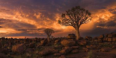 Quiver tree (Aloe dichotoma) at sunset, panoramic, Namib Desert, Namibia, March 2017.