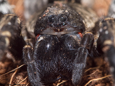Deserta Grande Wolf Spider (Hogna ingens) portrait, in captive breeding program at Bristol Zoo Gardens, Captive. Critically endangered species, native to Madeira.