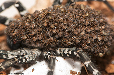 Deserta Grande Wolf Spider (Hogna ingens) spiderlings on back of mother, in captive breeding program at Bristol Zoo Gardens, Captive. Critically endangered species, native to Madeira.