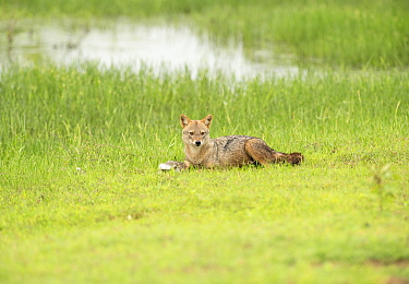 Golden jackal (Canis aureus) with Black-naped hare (Lepus nigricollis) kill, Yala National Park, Sri Lanka.