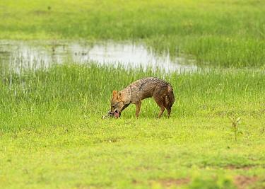 Golden jackal (Canis aureus) feeding on Black-naped hare (Lepus nigricollis) kill, Yala National Park, Sri Lanka.