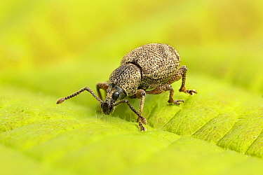 Clay-coloured weevil (Otiorhynchus singularis)  Catbrook, Monmouthshire, Wales, UK, May. Focus-stacked image