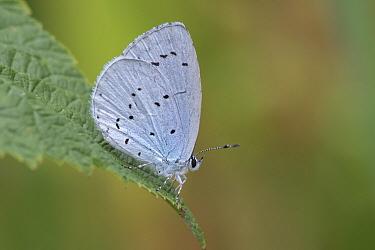 Holly blue butterfly (Celastrina argiolus)  Brasschaat, Belgium