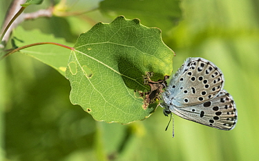 Large blue butterfly (Maculinea arion), female, Finland, July.